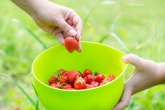 Picking home grown strawberry in garden. Organic berries in hand.  stock image