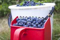 Picking huckleberries Vaccinium corymbosum Royalty Free Stock Photography
