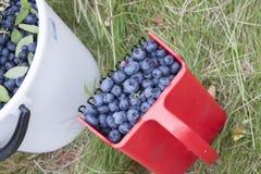 Picking huckleberries Vaccinium corymbosum Royalty Free Stock Image