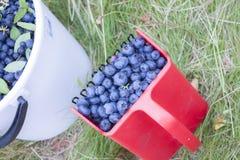 Picking huckleberries Vaccinium corymbosum Stock Photos
