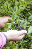 Picking huckleberries. A woman in pink, picking huckleberries, vaccinium corymbosum, at a bush blueberry plantasion Royalty Free Stock Photos