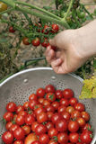 Picking the Last of the Garden Cherry Tomatoes Royalty Free Stock Photography