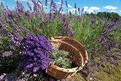 Picking Lavender. In the fields and collect them in a cane basket Royalty Free Stock Images