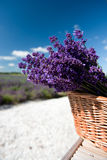 Picking Lavender Royalty Free Stock Photography
