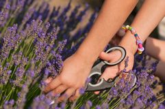 Picking lavender flowers. Cutting lavender flowers with a scissor Stock Photography