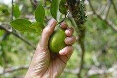 Picking lemon Royalty Free Stock Images