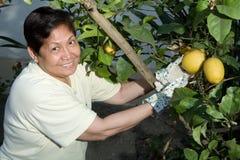 Picking lemons Royalty Free Stock Photography