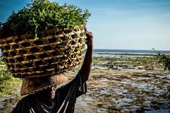 Picking life. Sea weed collectors make their catch every evening in nusa lebongan Stock Image