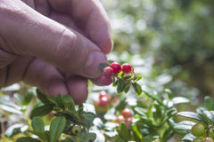 Picking lingonberries Royalty Free Stock Images