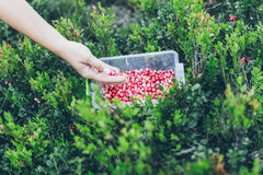 Picking lingonberry. Woman gathering wild berries. Royalty Free Stock Photos