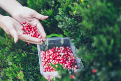 Picking lingonberry. Woman gathering wild berries. Royalty Free Stock Image