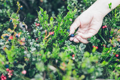 Picking lingonberry. Woman gathering wild berries. Stock Photography