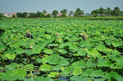 Picking lotus Stock Photo