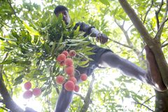 Picking lychees fruits, locally called Lichu at ranisonkoil, thakurgoan, Bangladesh. The Lychee is a fresh small fruit having whitish pulp with fragrant flavor stock photo