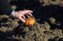 Picking a mini pumpkin. The Picking of a mini pumpkin Stock Photography