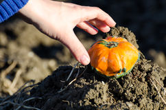 Picking a mini pumpkin. The piking of a mini pumpkin Stock Images