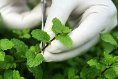 Picking mint leaves Royalty Free Stock Photo