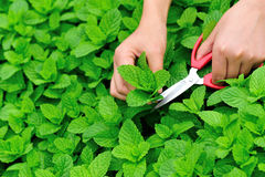 Picking mint leaves Royalty Free Stock Images