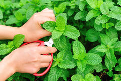 Picking mint leaves Stock Photography