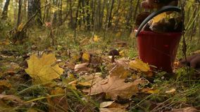 Picking mushrooms in autumn forest. Group of boletus in fall grass and leaves. stock footage