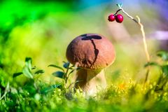 Picking mushrooms and cranberries in forest in early autumn royalty free stock image
