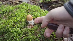 Picking mushrooms in the forest in autumn. woman cuts mushroom aspen with a knife.  stock video