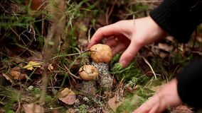 Picking mushrooms in the forest stock video footage