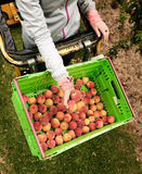 Picking nectarines at the orchard in New Zealand. Beautiful juicy fruit needs to be picked this summer. Stock Image
