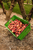 Picking nectarines at the orchard in New Zealand. Beautiful juicy fruit needs to be picked this summer. Stock Images
