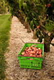 Picking nectarines at the orchard in New Zealand. Beautiful juicy fruit needs to be picked this summer. Stock Photography