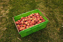 Picking nectarines at the orchard in New Zealand. Beautiful juicy fruit needs to be picked this summer. Royalty Free Stock Images
