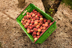 Picking nectarines at the orchard in New Zealand. Beautiful juicy fruit needs to be picked this summer. Royalty Free Stock Photo