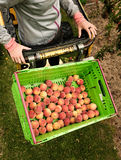 Picking nectarines at the orchard in New Zealand. Beautiful juicy fruit needs to be picked this summer. Royalty Free Stock Photos