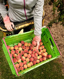 Picking nectarines at the orchard in New Zealand. Beautiful juicy fruit needs to be picked this summer. Stock Photo