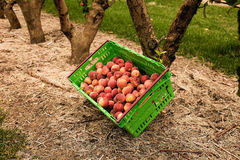 Picking nectarines at the orchard in New Zealand. Beautiful juicy fruit needs to be picked this summer. Royalty Free Stock Image