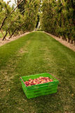 Picking nectarines at the orchard in New Zealand. Beautiful juicy fruit needs to be picked this summer. Royalty Free Stock Photography
