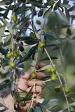 Picking olives Stock Photo