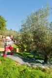 Picking olives Stock Photography