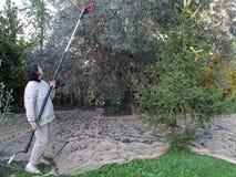 Picking Olives Royalty Free Stock Image