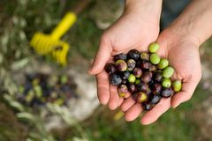 Picking olives stock photos