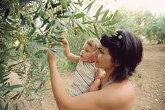 Picking Olives Royalty Free Stock Photos