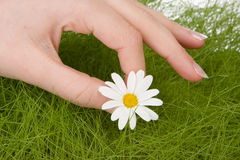 Picking one daisy Stock Photos