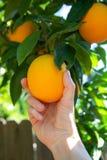 Picking an orange Royalty Free Stock Image