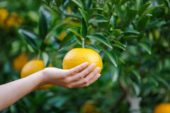 Picking orange fruit from left Stock Photo