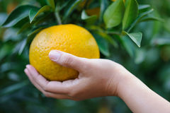 Picking orange fruit from right Stock Photo