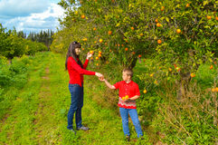 Picking oranges Stock Images