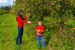 Picking oranges Stock Photo