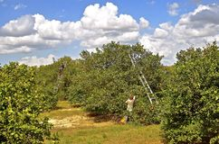 Picking oranges in an orchard. Orange pickers stands on ladders in the process of collecting the citrus fruit from the trees Royalty Free Stock Photo