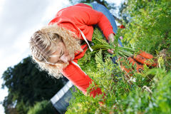 Picking organic carrots Stock Photography