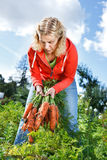 Picking organic carrots Royalty Free Stock Photo